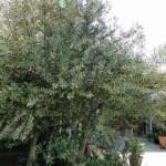 庭のオリーヴが満開を迎えています。